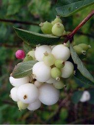 icedsnowberry